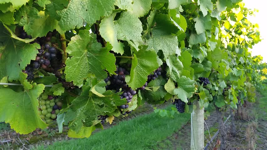 Veeyard Meaning: Beautiful Shot Of Grape In Vineyard At Sunny Day. Close-Up