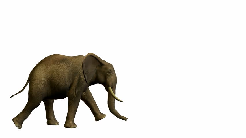 Elephant walking on a white background