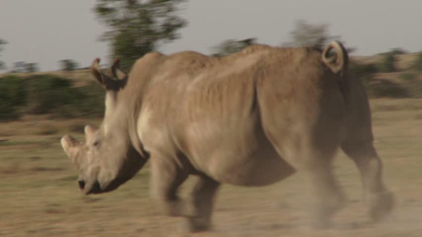 A white rhino running past the camera.