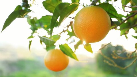 branch of orange waving sunlight coming through