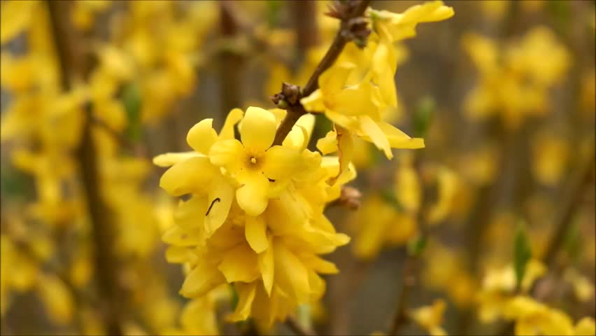 Header of laburnum