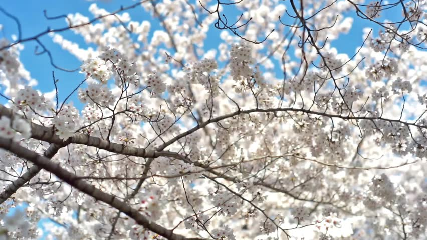 Kyoto Cherry Blossoms Stock Video Footage 4k And Hd Clips Shutterstock
