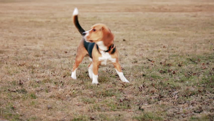 Barking dog in the field. Cute dog wearing a collar howling toward the camera, wagging its tail. Source: Canon 7D, graded. Clip ID: ax1241c