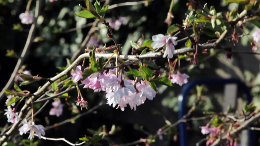 Beautiful Wild Pink Flower Sway in the Wind on a Delicate Tree Branch  Garden English Countryside Nature Plant Backgrounds Location: Lichfield, Staffordshire, UK Source: Canon 5DMkiii Date: 6 Apr 2015 | Shutterstock HD Video #9594500