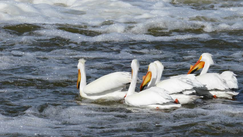 White Pelicans fishing together, one catches and swallows large fish!