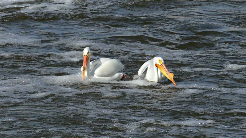American White Pelican Catches, Eats Huge Walleye Fish.  The fish is huge, it fights the pelican, and keeps fighting once inside the pelican's neck. It is truly amazing to see!