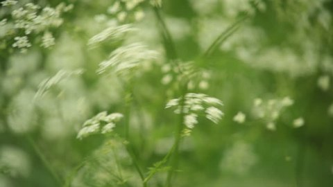 Close shot of elderflower swaying in the wind, shot with a vintage lens.