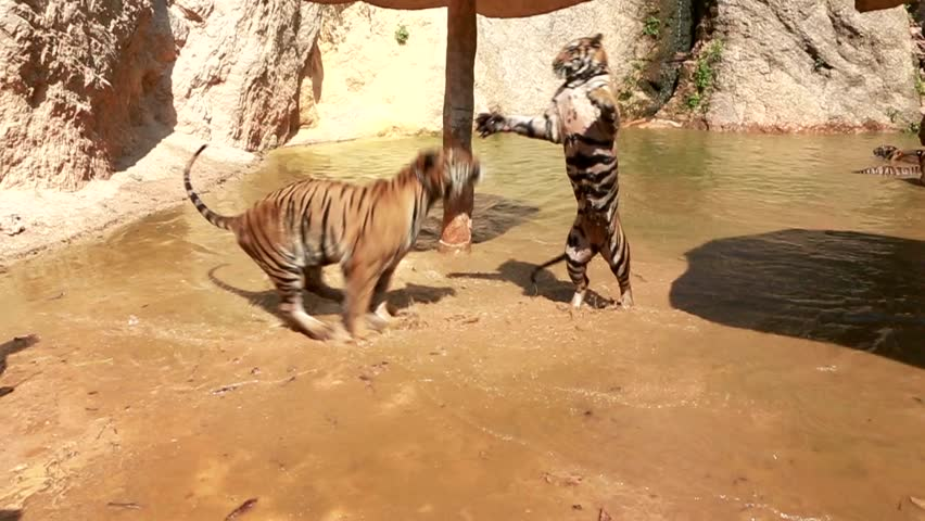 Adult beautiful tigers fighting near water. DSLR camera. 29.97 fps.bit slow motion video #9644042
