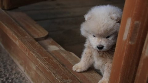 """Lovely baby Chow Chow looking outside and moving in Lijiang, China..  The Chow Chow is a dog breed originally from northern China, where referred to as Songshi Quan that means """"puffy-lion dog""""."""