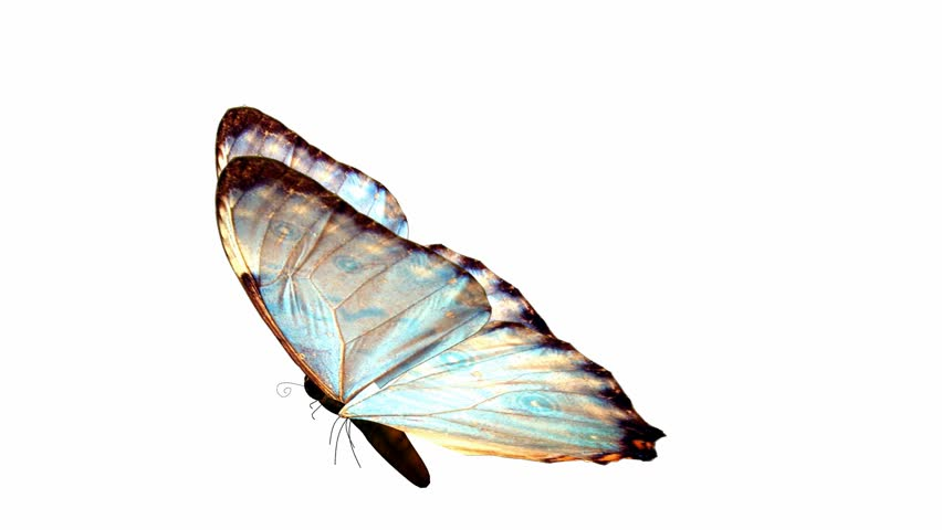 A Butterfly Flying On White Background