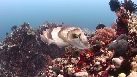 A large Cuttlefish swims around a coral reef, changing pattern and texture as it moves