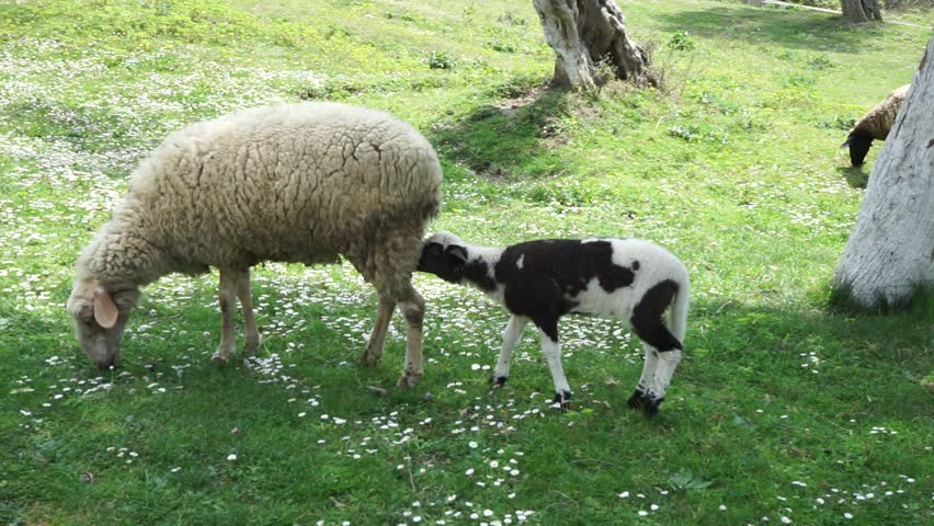 A sheep with its black-and-white lamb grazing between olive trees in spring. Lamb is trying to drink his mother's milk. April 2015. Albania, Kavaja