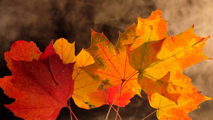 Fall leaves burn, smoke surrounds colorful, freshly fallen leaves. 1080p | Shutterstock HD Video #977782