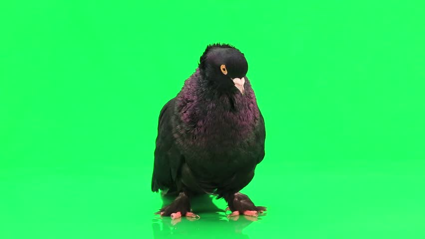 pigeon on green screen