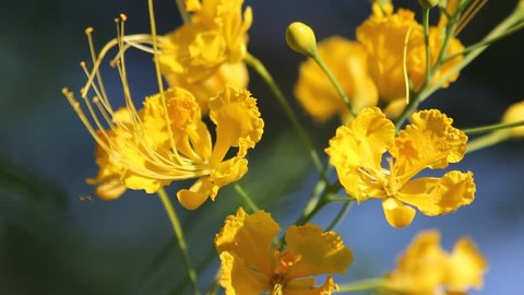 Close up of Flamboyant tree Flower, flame tree, Delonix regia