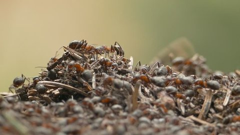 Swarming wood ants, also known as horse ants (Formica rufa) in their nest, made of conifer needles .Native ungraded file, Pana Cine-like D dynamic gamma.