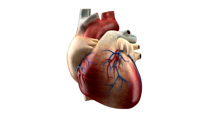 Real heart anatomy