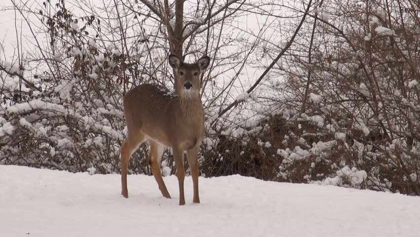 White-tailed deer walking through the snow in winter at Jefferson Barracks National Cemetery
